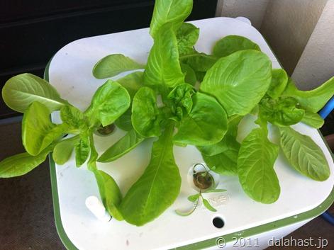 イエナで水耕栽培 ついにサラダ菜を収穫!