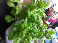 サラダ菜水耕栽培3