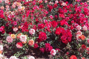 生田緑地ばら苑へ行ってきました