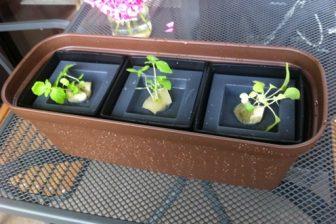 自作水耕栽培装置で大葉とバジルを育成中