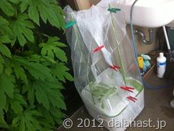 水耕栽培イエナを虫よけカバーを設置しました