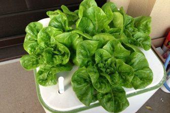水耕栽培イエナ iena で今冬もサラダ菜は絶好調