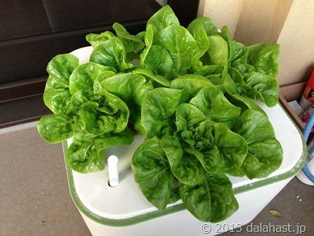 サラダ菜サマーグリーン第2期
