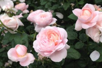 今年も生田緑地のバラ苑へ 2013年5月