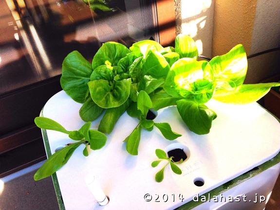 サラダ菜20140102