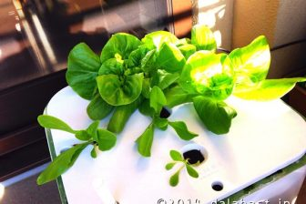 2014年1月 水耕栽培のサラダ菜育成日記
