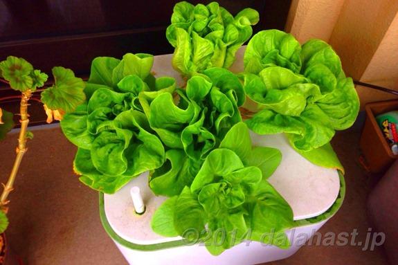 水耕栽培のサラダ菜