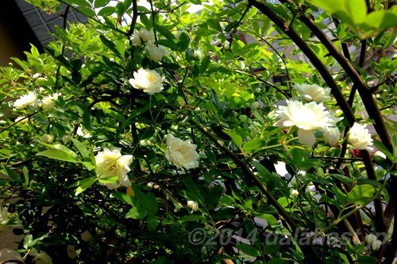 モッコウバラ開花