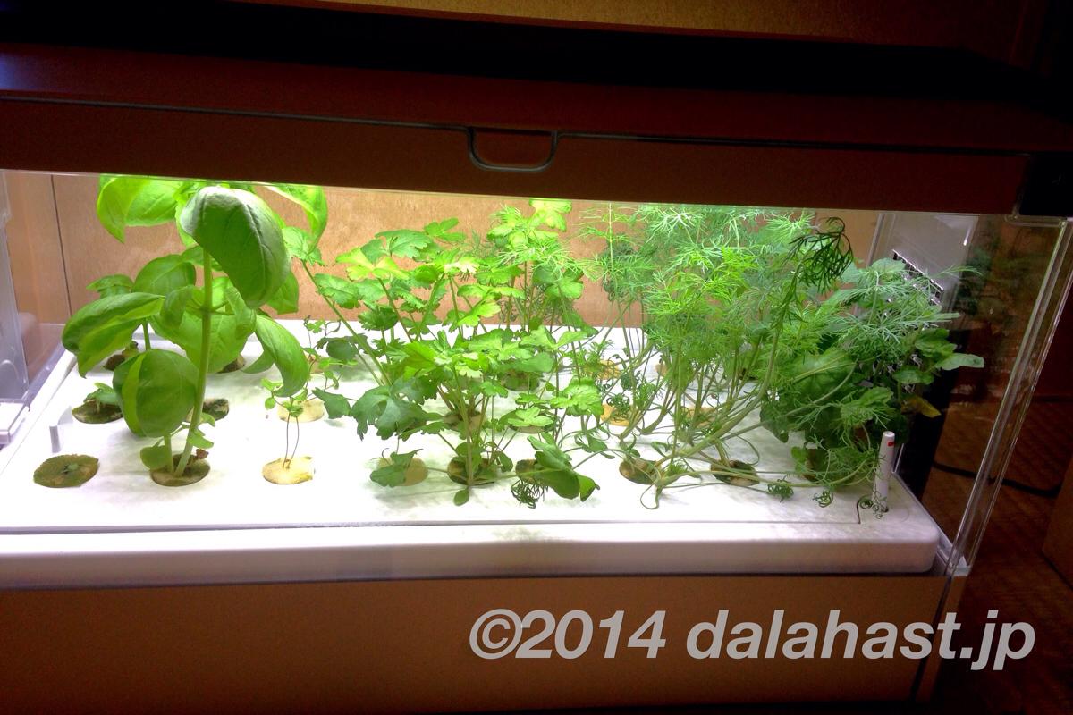 Green Farm 水耕栽培日記 ハーブは順調に育ってます