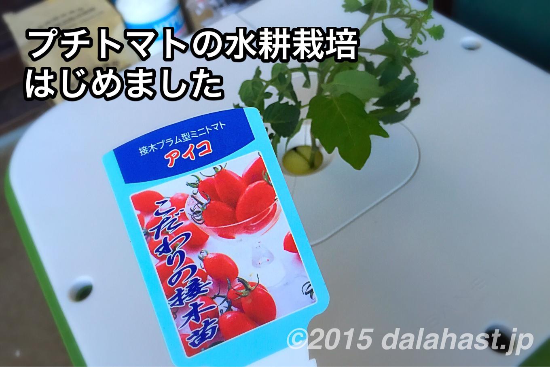 プチトマトの水耕栽培