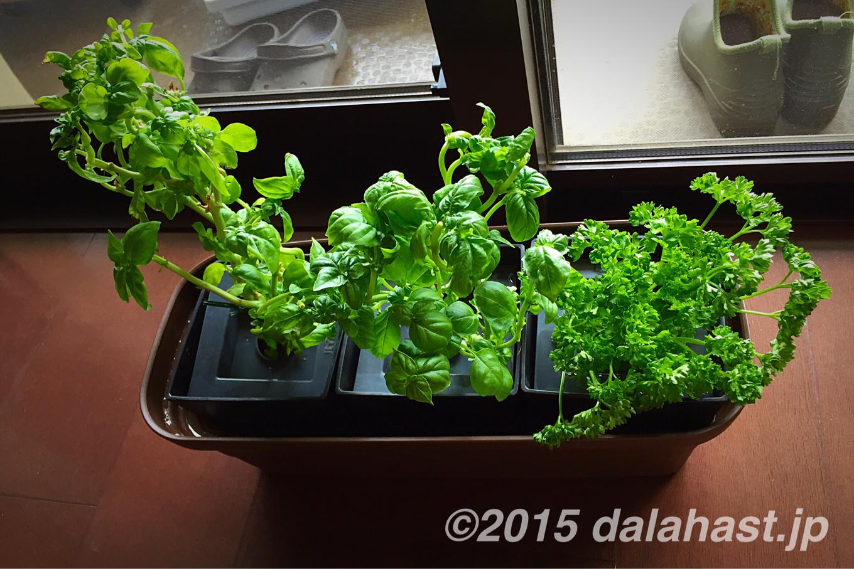 水耕栽培植え替え バジル・パセリを自作水耕栽培器へ移動