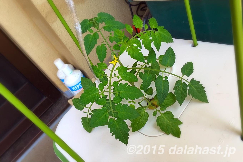 プチトマト水耕栽培