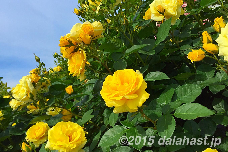 生田緑地ばら苑 薔薇満開で見頃!2015年5月