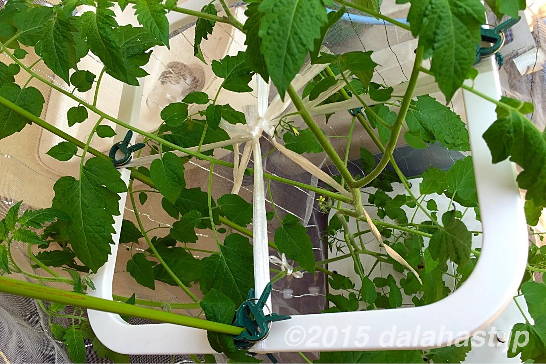 水耕栽培 トマト