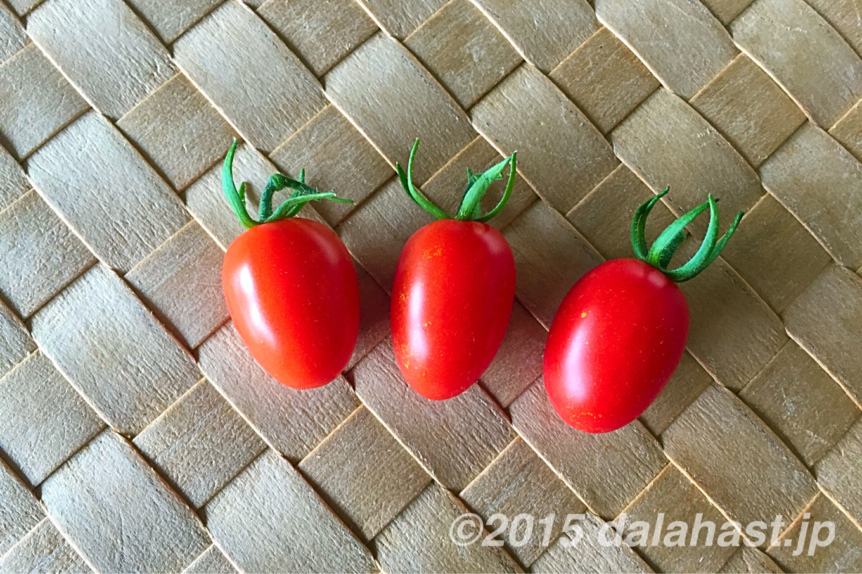プチトマトの水耕栽培 アイコ育成の記録 2015年