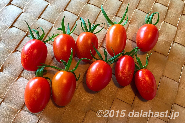 水耕栽培プチトマト アイコ