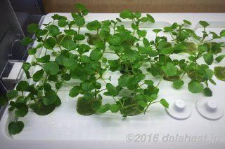 クレソン(ウォータークレス)のLED水耕栽培始めました 【Green Farm】