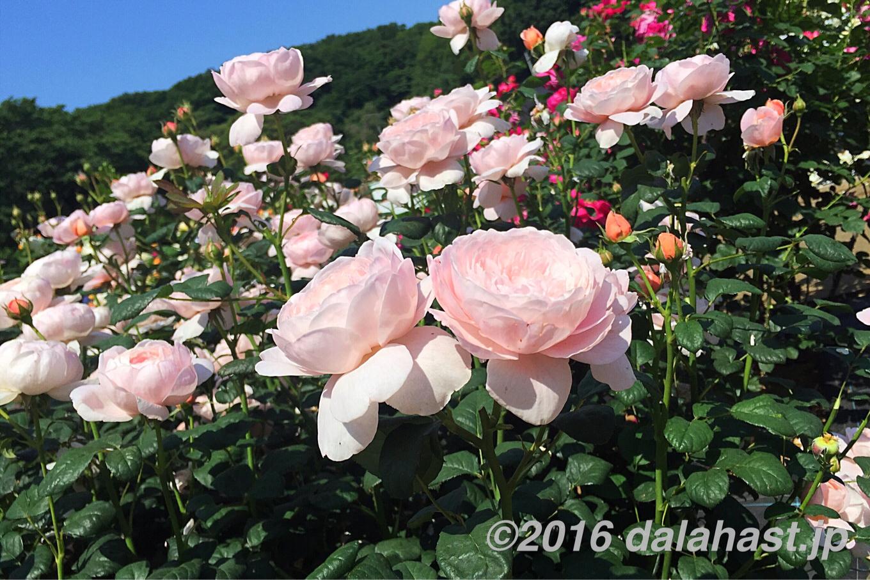 生田緑地ばら苑 2016年春 緑豊かな多摩丘陵に囲まれた美しい花園