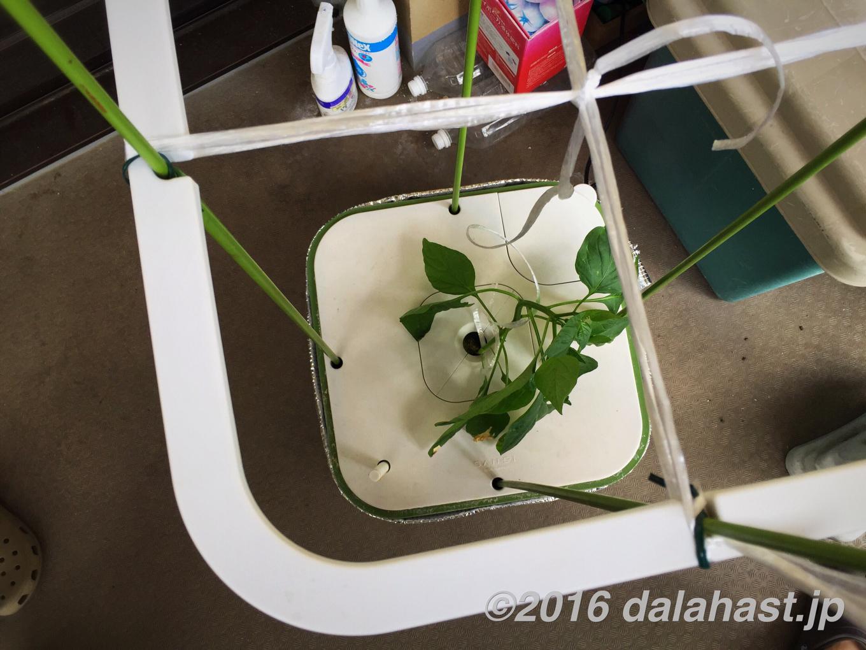 パプリカ水耕栽培