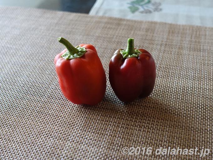 【ベランダ水耕】 パプリカの水耕栽培すくすく成長中!