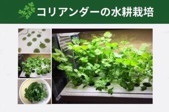 コアリアンダー・パクチーを水耕栽培で育てよう!~GreenfarmでLED水耕栽培の記録