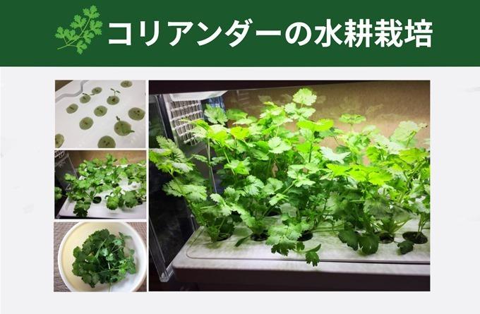 コリアンダーの水耕栽培