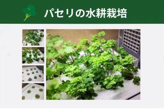 パセリを水耕栽培で育てよう! ~GreenfarmでLED水耕栽培の記録