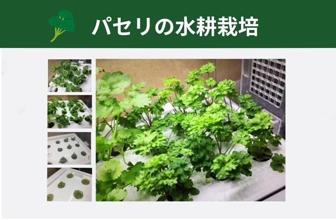 パセリの水耕栽培